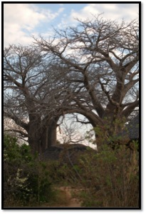 I don't know why but I have such a facination for these trees – Baobab tree AKA Malambe tree.
